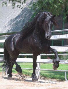 Beautiful dark horse prancing along.