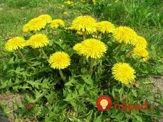 What is Dandelion (Taraxacum officinale)? How to Eat dandelion, how to forage for dandelion. Dandelion recipes, where to buy dandelion seeds. Mustard Plant, Dandelion Leaves, Dandelions, Dandelion Flower, Wild Lettuce, Taraxacum Officinale, Edible Wild Plants, Perennial Vegetables, Wild Edibles