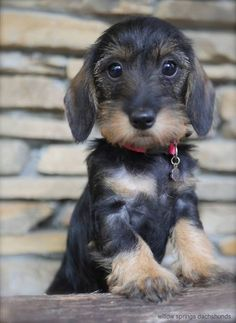 Teckel pup dogs and puppies Dachshund Breed, Dachshund Love, Daschund, Dapple Dachshund, Wire Haired Dachshund Puppies, Cute Puppies, Cute Dogs, Dogs And Puppies, Sweet Dogs