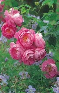 Almost peony-like roses. Or are peonies almost-rose like? - David Austin Roses