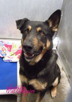 A4788807 My name is Tony. I am a superb 5 yr old male black/brown German Shepherd mix. I sit on command and am super-friendly. My owner left me here on Jan 3. available now. located in bldg 4 - no public view Baldwin Park shelter https://www.facebook.com/photo.php?fbid=906412879370550&set=a.705235432821630&type=3&theater