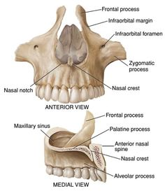 Maxilla anatomy diagram wiring diagram database 75 best anatomy and physiology for communication disorders images on rh pinterest com lacrimal bone anatomy diagram eye muscles diagram anatomy ccuart Gallery