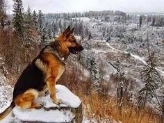 German shepherd in snow❄️ Gsd Dog, Dog Cat, Dog Photos, Dog Pictures, German Shepherd Puppies, German Shepherds, Schaefer, English Bull Terriers, Service Dogs
