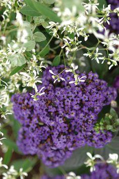 "Heliotropium arborescens--""Large clusters of deep purple, vanilla-scented flowers all summer; heat tolerant"""