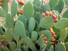In scop terapeutic, de la limbasoacrei se folosesc florile, partile suculente si fructele, toate bogate in substante active cu proprietati vindecatoare. Rooftop, Tropical, Outdoor, Figs, Cactus, Outdoors, Rooftops, Outdoor Games, The Great Outdoors