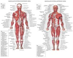 Muscle Human Anatomy Human Muscle Anatomy System And Its Function My School Lights
