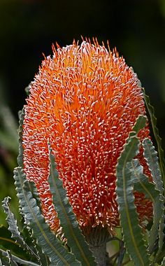 "Banksia - These Australian wildflowers and popular garden plants are easily recognized by their characteristic flower spikes and fruiting ""cones"" and heads."