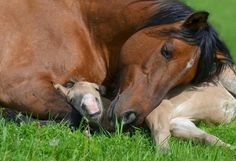 10 Foals & Their Gorgeous Mothers - Horses - animals Baby Horses, Cute Horses, Horse Love, Farm Animals, Animals And Pets, Funny Animals, Cute Animals, All The Pretty Horses, Beautiful Horses