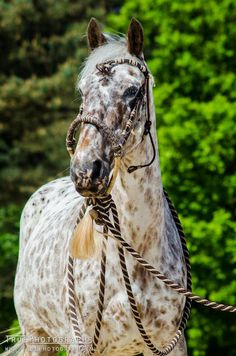 Her face looks marbled, but her body would be classified as snowflake (I guess)  Appaloosa - Lara Kramer, Netherlands