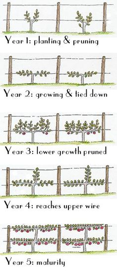 How to grow your grape vines onto an espalier - using a simple, straightforward infographic. It's simple!How to grow your grape vines onto an espalier - using a simple, straightforward infographic. It's simple! Veg Garden, Fruit Garden, Edible Garden, Vegetable Gardening, Veggie Gardens, Garden Pond, Garden Fencing, Garden Beds, Garden Art