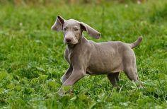 Weimaraner Puppies - 37 Pictures