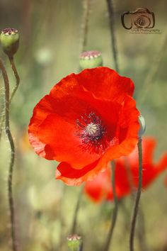 Just a Poppy - A bright red poppy blooming by LHJB Photography