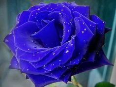 111642__wet-blue-rose_p.jpg (808×606)