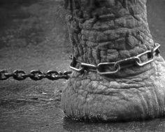 Para los que todavía os preguntéis cómo un elefante tan grandote permanece atado a un palito tan insignificante en proporción, sin la más mínima intención de escapar, os lo voy a explicar. No es debido a que sea un animal de granja y prefiera la seguridad de 2 comidas diarias o porque aparente una fuerza física que en realidad no tiene. La realidad es tan desconcertante como triste: es porque tiene buena memoria.