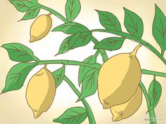 How to Prune a Lemon Tree: 12 Steps (with Pictures) - wikiHow