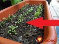 Na toto video som natrafil minulý rok a skúsili sme to aj doma. Naozaj, o 3 hodiny môžete vidieť malé slížiky - výhonky petržlenu nad zemou. Za všetko môže urýchľovač klíčenia, na ktorý by som Easy Craft Projects, Garden Inspiration, Bonsai, Diy And Crafts, Food And Drink, Herbs, Gardening, Nature, Plants