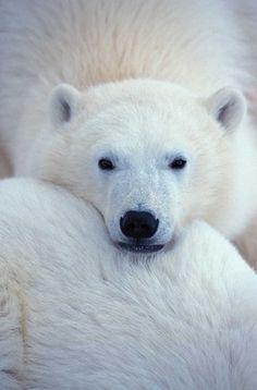 Полярные медведи выходят из берлог после зимовки | MEGA-BITVA.RU