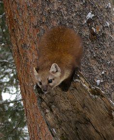 Photo by Tim Gage. American Marten, Wildlife, Fox, Animals, Image, Maturity, 3 Months, Animales, Animaux