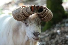 Goat in curlers too long? Interesting Animals, Unusual Animals, Rare Animals, Animals Beautiful, Animals And Pets, Funny Animals, Animals With Horns, Weird Creatures, Exotic Pets