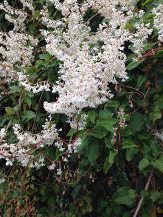 Fallopia 'mile a minute plant'