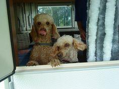 Caravan poodles