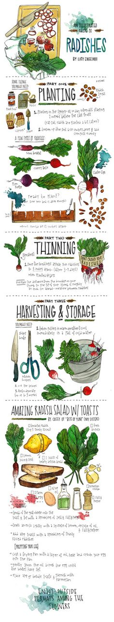 An Illustrated Guide to Radishes by pockettiger on Etsy, $50.00