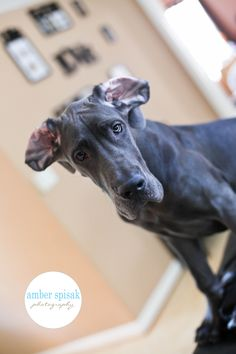 Blue #Great #Dane