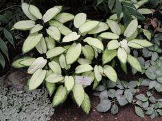 dieffenbachia-seguine