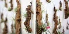 A lovely Tillandsia growing against a treated piece of grape vine. Hang it against the wall or leave it as a decorative table top piece. mist the leaves of the plants once every 2 weeks.