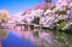 富山県高岡市の中心部にある公園。加賀前田家2代当主の前田利長が築いた高岡城の跡に造られた。外郭はほとんどそのまま残されており、敷地内の3分の1の面積を水濠が占める。この水濠の周囲には、桜やカエデ、ケヤキやマツなどの樹木が植えられており、なかでも桜については、「日本さくら名所100選」に選定されており、ソメイヨシノやヤマザクラなど、23種約2700本もの桜が開花する。 Cherry Blossom Japan, Cherry Blossoms, Beautiful Places, Beautiful Pictures, Japan Landscape, Japanese Castle, Spring Pictures, Water Reflections, Japanese Aesthetic