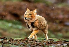 A Tibetan Fox facing Himalayan extremes. #Animals #TibetanFox