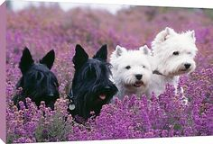 Scottish Terriers and West Highland White Terriers sitting in the heather