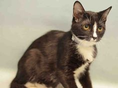 fostered ALICE & KITTENS – A1106095, A1106097, A1106098 - 19 day old Kittens - ALICE  FEMALE, BLACK / WHITE, DOMESTIC MH MIX, 2 yrs