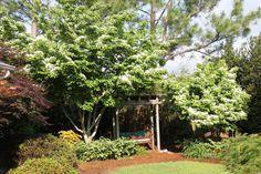 Virginia Beach Gardener: Kousa Dogwood