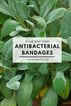 Natural Holistic Remedies Did you know that you can grow your own antibacterial bandages? It's true. There is a plant that you can grow in your own garden that is a great alternative to store-bought bandages. Holistic Remedies, Natural Health Remedies, Natural Cures, Natural Healing, Herbal Remedies, Natural Treatments, Natural Foods, Cold Remedies, Natural Beauty