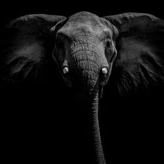 FineArtSeen - Time Stands Still by Neil Aldridge. This limited edition photograph of a beautiful elephant in black and white comes from the collection on FineArtSeen. Click to view more art at great prices from the Home Of Original Art. << Pin For Later >>
