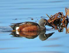 Australasian Shoveler - Yerrabi Pond, ACT