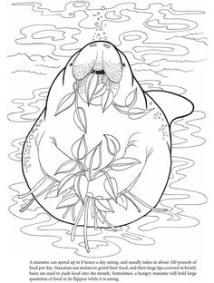 hungry manatee colouring in sheet