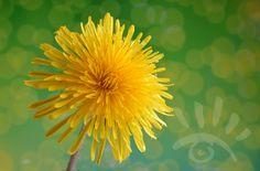 Paardenbloem. De Paardenbloem is een algemeen voorkomende wilde plant. Deze plant komt overal ter wereld voor en sieren volop de weilanden en tuinen in April en mei. http://markrademaker.nl