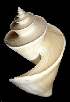 Thatcheria mirabilis, Turridae- Commonly known as the Japanese Wonder Shell