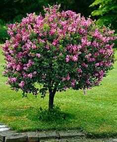 Dwarf Standard Lilac 'Palibin' Tree (Syringa meyeri 'Palibin')