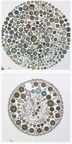 Microalgas diatomeas vistas desde el microscopio