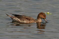 File:Northern Pintail (Female)- Feeding I IMG 0910.jpg