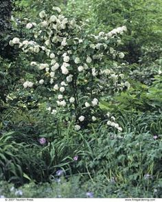 Viburnums are Versatile Shrubs: Use a tall-growing viburnum as an anchor in a mixed border. Here, V. plicatum var. tomentosum is a standout. | Fine Gardening