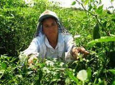 Entre Nosotras Compartimos......: Trabajadoras temporeras agrícolas: Bajo el signo d...