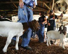 Raising, showing livestock offers valuable lessons