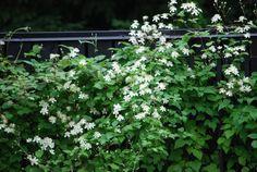 Klematis Summersnow mot planket — Almbacken Trädgårdsdesign