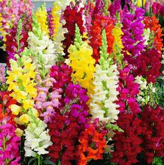 Hey, I found this really awesome Etsy listing at https://www.etsy.com/listing/195442600/100-dragon-flower-antirrhinum-snapdragon