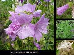 Muskuskaasjeskruid - Malva moschata. - Foto gemaakt door pinterester Adri v.d.S - Bord Wilde Rode bloemen - Red wildflowers