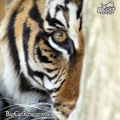 Peek-A-Boo - The largest of all the living cats, the tiger is immediately recognizable by its unique reddish – orange coat with black stripes.